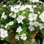 Bacopa Trailing Annual