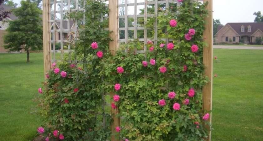 Climbing Roses Garden Social