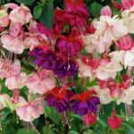 Fuchsia Bedding Trailing Hanging Basket Plant Ebay