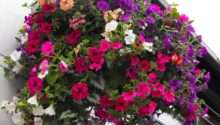 Granny Gaules Garden Summer Hanging Baskets