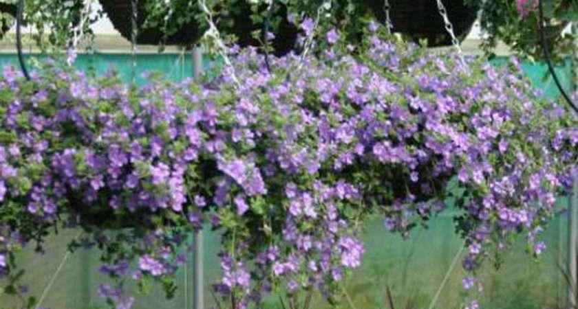 Hanging Basket Ideas Plants Gardening Baskets