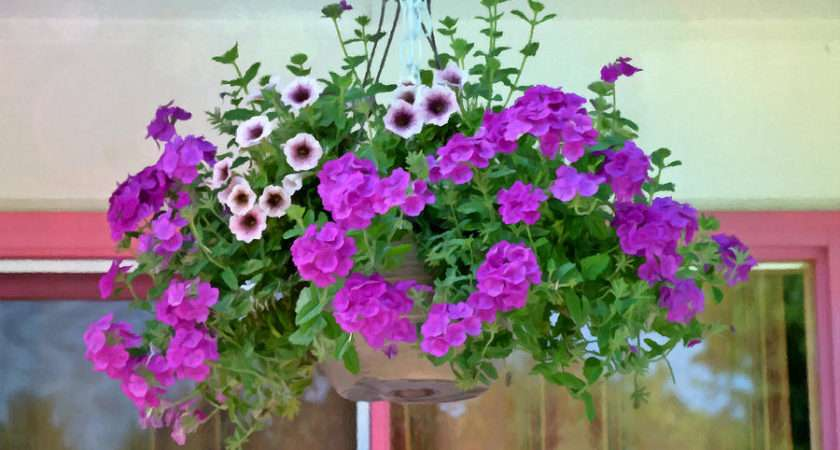 Hanging Basket Painting Trailing Petunia Flowers