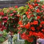 Hanging Basket Plants Begonia Trailing