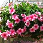 Hanging Basket Vinca Trailing Baskets Great