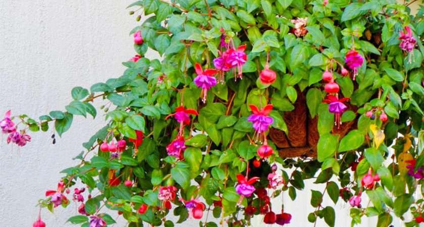 Hanging Baskets Ideal Plants