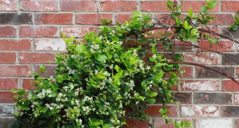 Here Vine Covered Trellis One Brick Walls