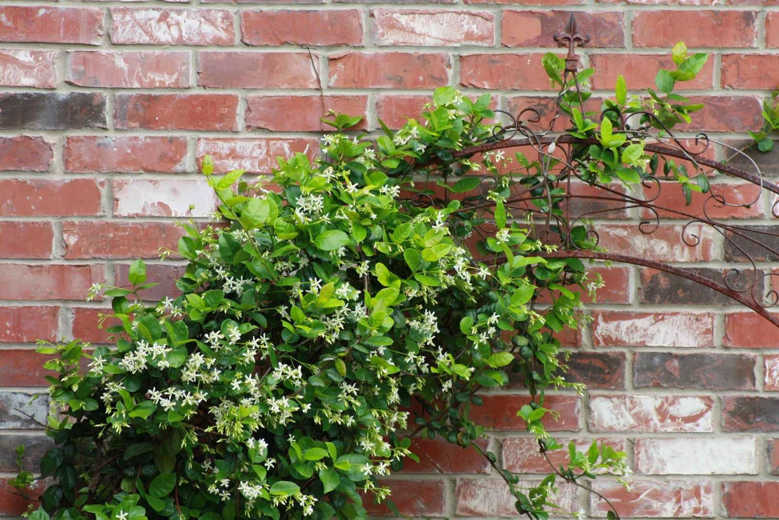 Here Vine Covered Trellis One Brick Walls