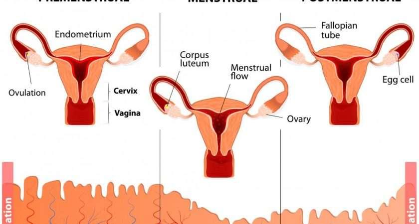 Ovulation Understanding Cycles Health