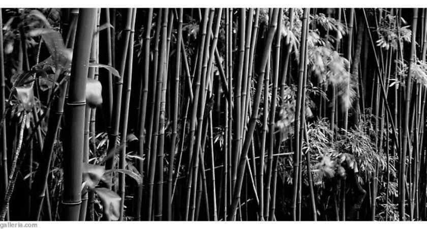 Panoramic Black White Bamboo Grove Haleakala