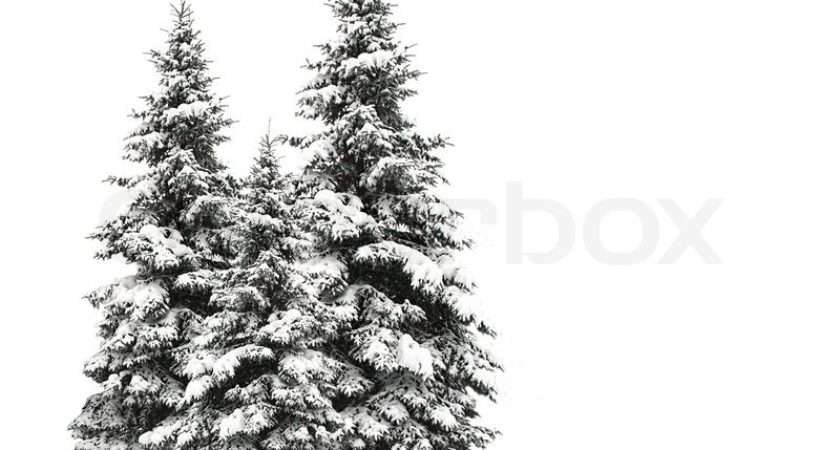 Pine Trees Isolated White Colourbox