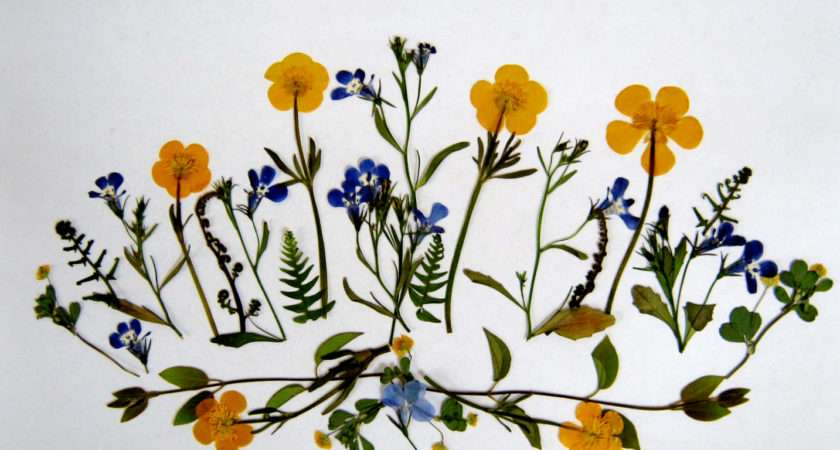 Plants Pressed Flowers Buttercups Minding