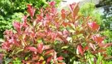 Shrubs Lower Maintenance Gardeners Tips