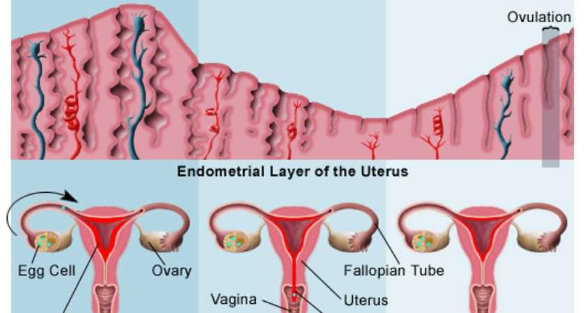 Standard Note Menstrual Cycle Ovulation