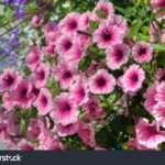 Trailing Petunia Flowers Hanging Basket