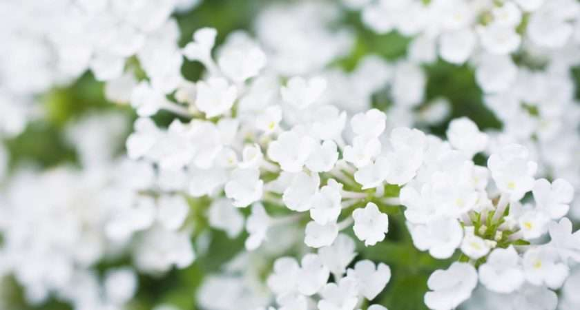 White Flowers Photos